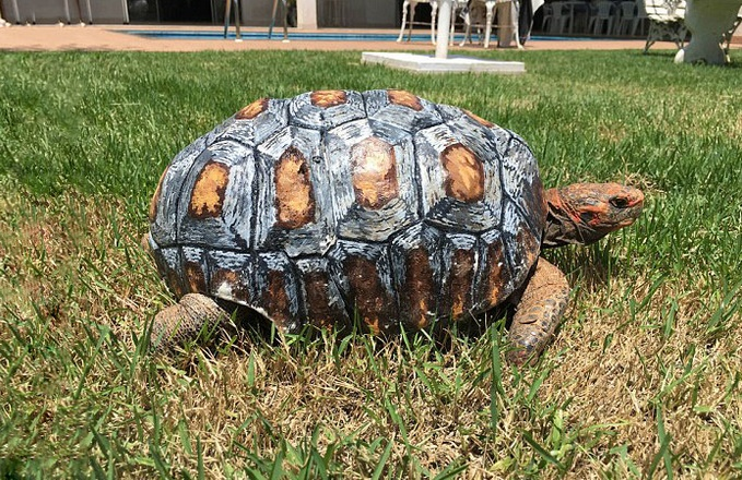 tortue-carapace-3d