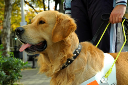chiens-guides-d'aveugles